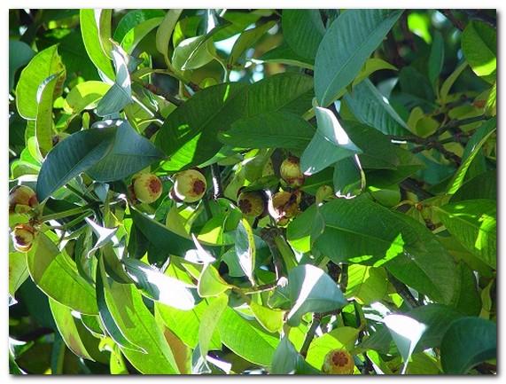 Дерево мангустина